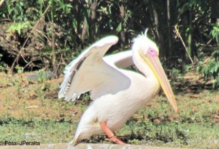 pelicano1