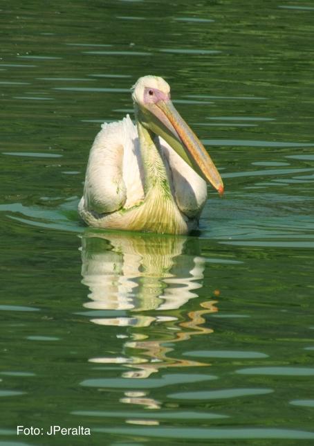 pelicano10