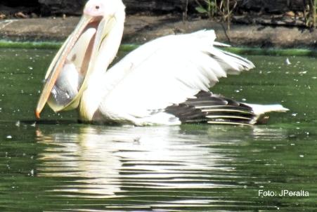 pelicano11