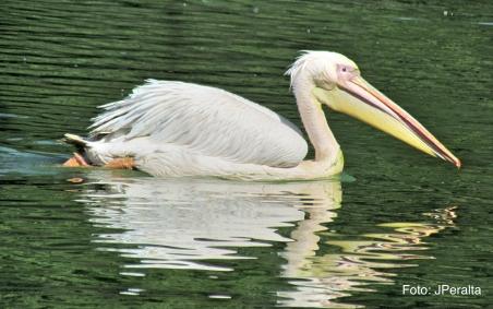 pelicano12