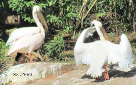 pelicano14