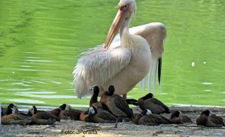 pelicano15