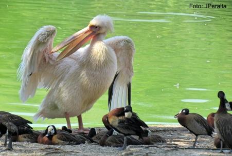 pelicano17