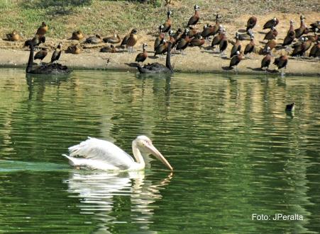 pelicano18