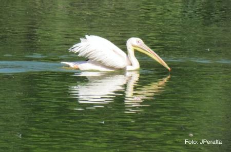 pelicano19