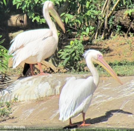 pelicano2