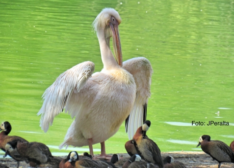 pelicano4