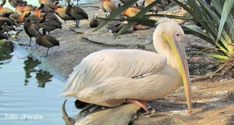 pelicano7