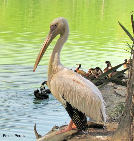 pelicano8