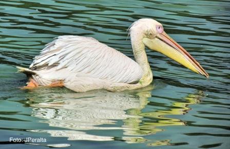 pelicano9